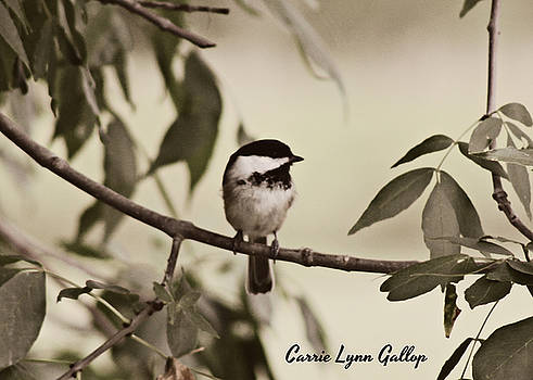 Chickadee by Carrie Gallop