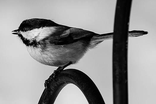 Chickadee by Darryl Hendricks