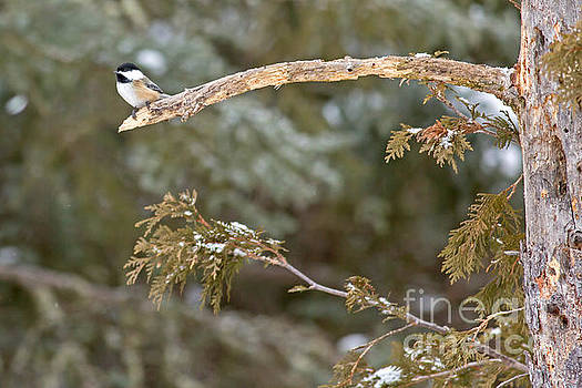 Chickadee in Minnesota by Natural Focal Point Photography