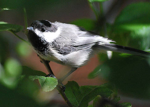 Michelle  BarlondSmith - Chickadee in Sunlight