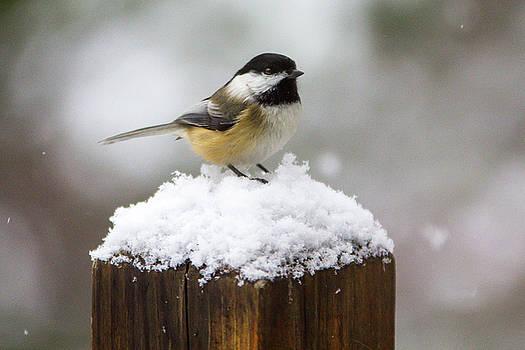 Chickadee in the Snow by Darryl Hendricks