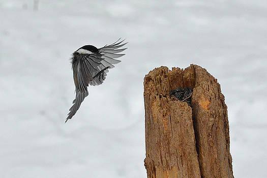 Chickadee landing by Asbed Iskedjian