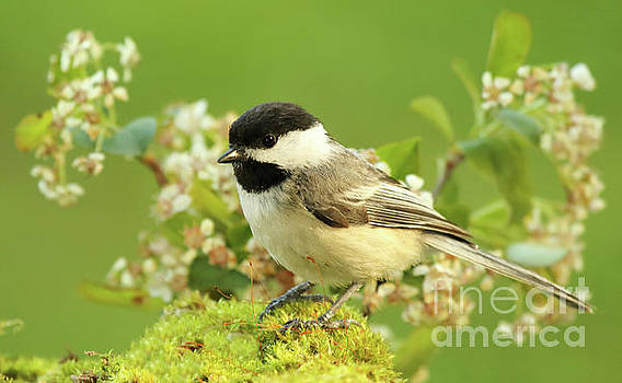 Chickadee Mossy Spring Perch by Max Allen
