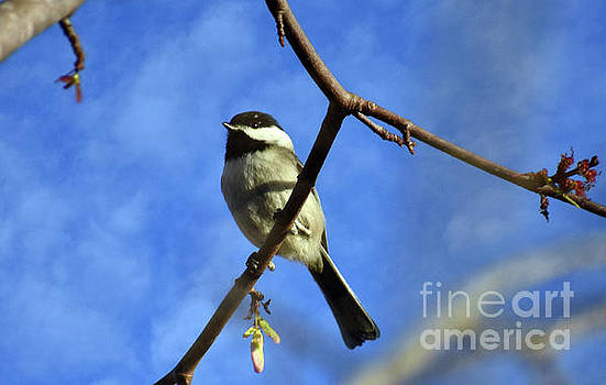 Chickadee On Blue by Lydia Holly