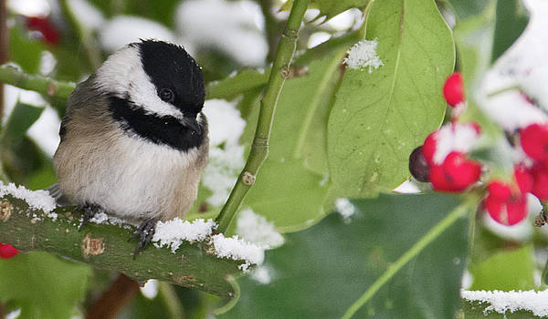 Chickadee  by Rob Mclean