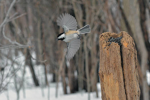 Chickadee takeoff by Asbed Iskedjian
