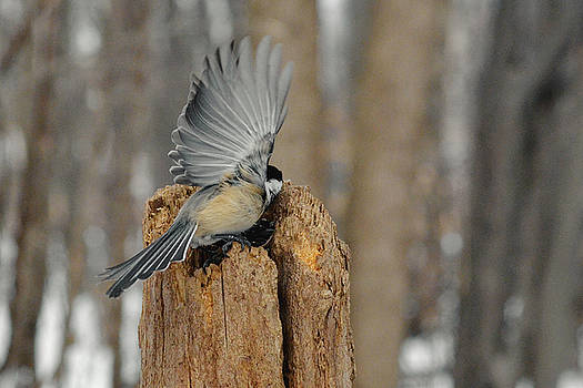 Chickadee - wings by Asbed Iskedjian