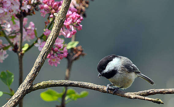 Chickadee With Lilac Background by Laura Mountainspring