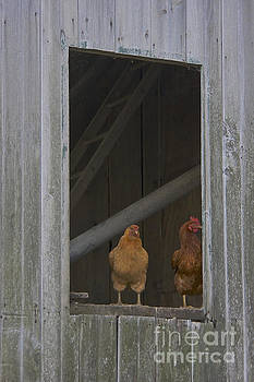Chicken outlook by Lori Amway