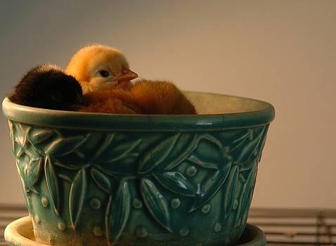 Chicks by Jon Benson