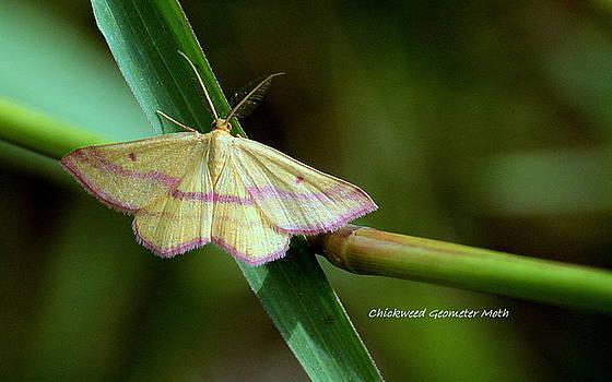 Rosanne Jordan - Chickweed Geometer Moth