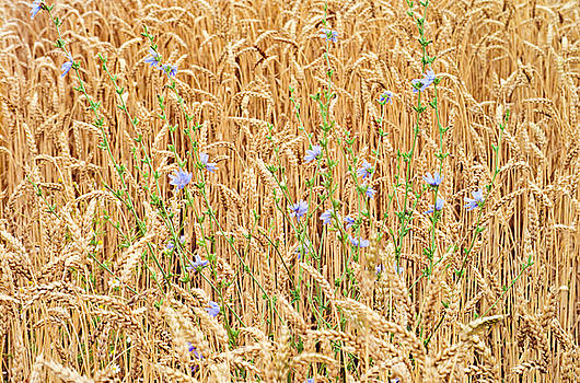 Chicory and Wheat Photo by Peter J Sucy