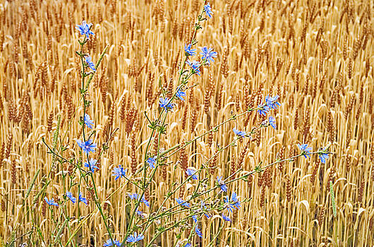 Chicory on Wheat by Peter J Sucy