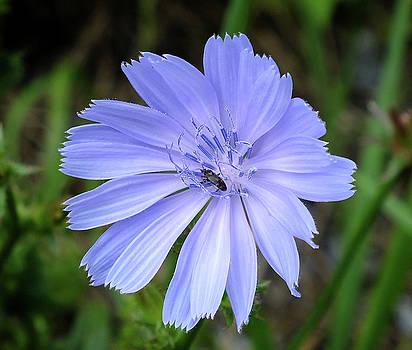 Chicory Sitting Pretty by Bill Morgenstern
