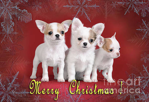 Waldek Dabrowski - Chihuahua Christmas card