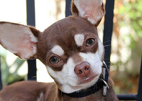 Chihuahua by Nikki Sandoval