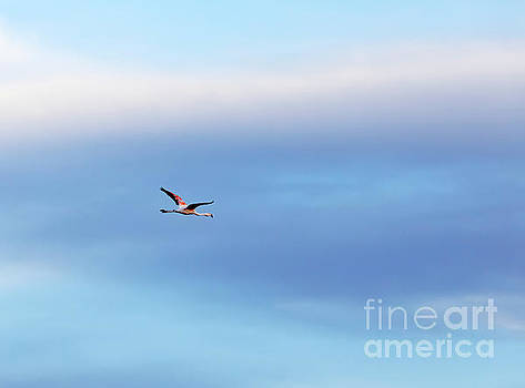 Chilean flamingo Phoenicopterus chilensis in flight by Louise Heusinkveld