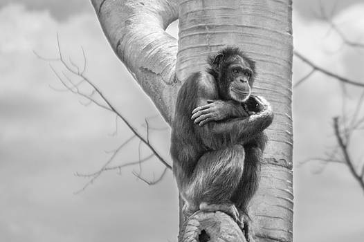 Chimp in Tree by Ashleigh Mowers
