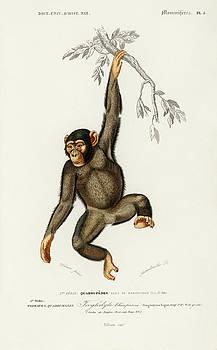 Chimpangze - Troglodyte Chimpanze by Charles Dessalines D' Orbigny