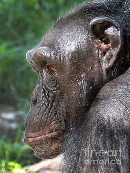 Gary Gingrich Galleries - Chimpanzee-0391