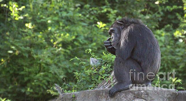 Gary Gingrich Galleries - Chimpanzee-0478