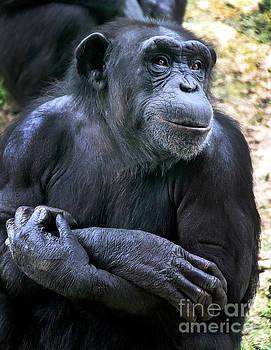 Gary Gingrich Galleries - Chimpanzee-9111