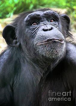 Gary Gingrich Galleries - Chimpanzee-9229