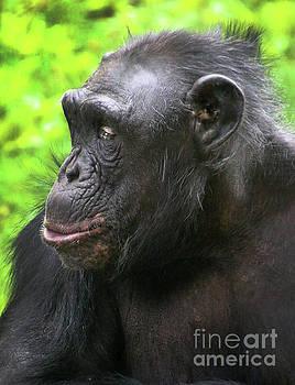Gary Gingrich Galleries - Chimpanzee-9273