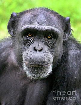 Gary Gingrich Galleries - Chimpanzee-9320