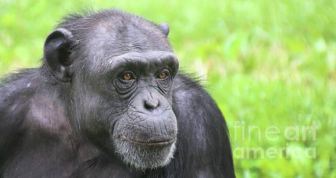 Gary Gingrich Galleries - Chimpanzee-9333