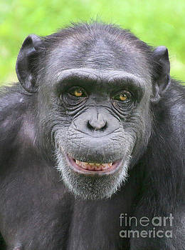 Gary Gingrich Galleries - Chimpanzee-9343