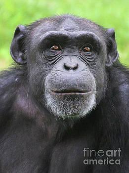Gary Gingrich Galleries - Chimpanzee-9348