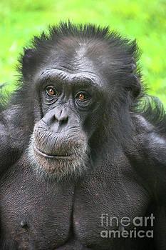 Gary Gingrich Galleries - Chimpanzee-9369