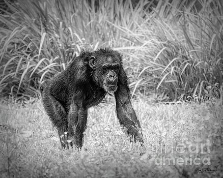 Chimpanzee - BW by Jan Mulherin