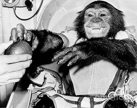 R Muirhead Art - chimpanzee Ham back on earth after his trip in a rocket