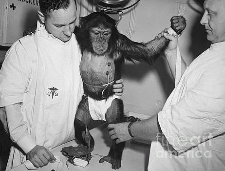 R Muirhead Art - Chimpanzee Ham with bio sensors attached readied by handlers for his trip in the Mecury Redstone 2