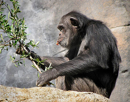 Chimpanzee having a Snack by Helaine Cummins