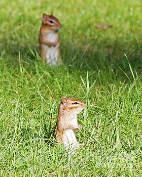 Chimpmunks Looking by Lloyd Alexander
