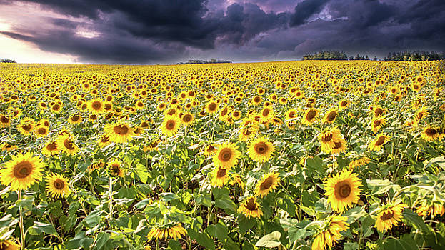 Sunflower Field by John Daly