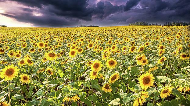 Sunflower Field by John Daly