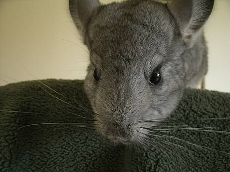 Chinchilla Love by Anna Pendleton