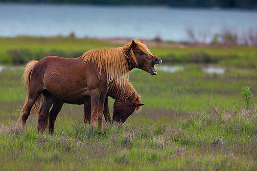 Chincoteague Pony by Dennis Clark