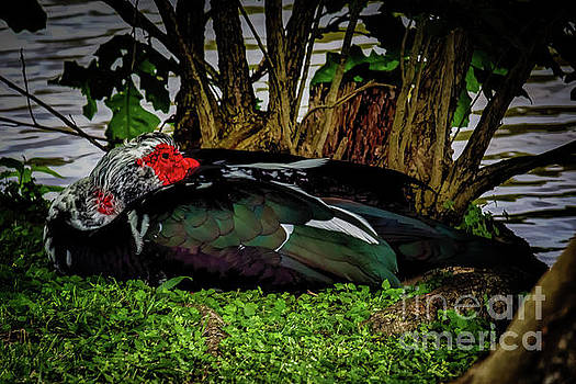Chinese Duck At Rest by JB Thomas