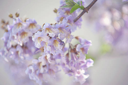 Chinese Empress Tree. Paulownia Tomentosa 1 by Jenny Rainbow