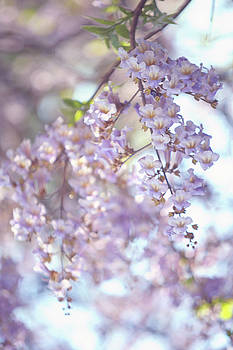 Chinese Empress Tree. Paulownia Tomentosa 2 by Jenny Rainbow