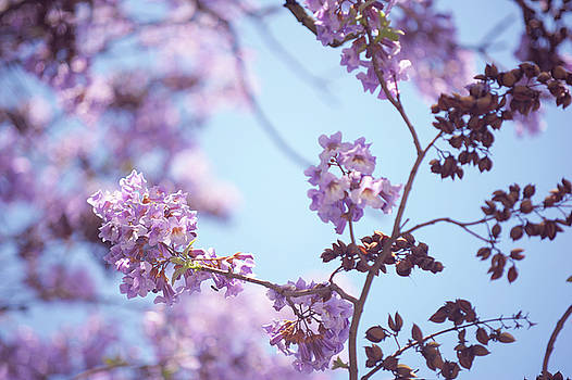 Chinese Empress Tree. Paulownia Tomentosa 3 by Jenny Rainbow
