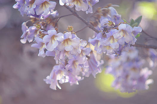 Chinese Empress Tree. Paulownia Tomentosa by Jenny Rainbow
