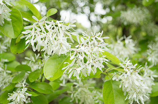 Chinese Fringe Tree by Linda Geiger