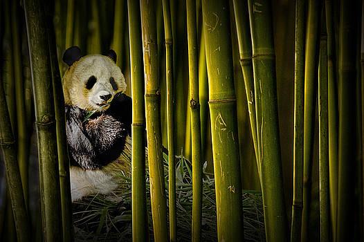 Randall Nyhof - Chinese Panda Bear among the Bamboo Trees