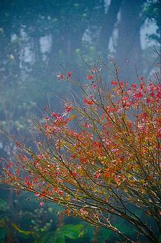 Chinese Red Maple Leaf Tree by Lehua Pekelo-Stearns